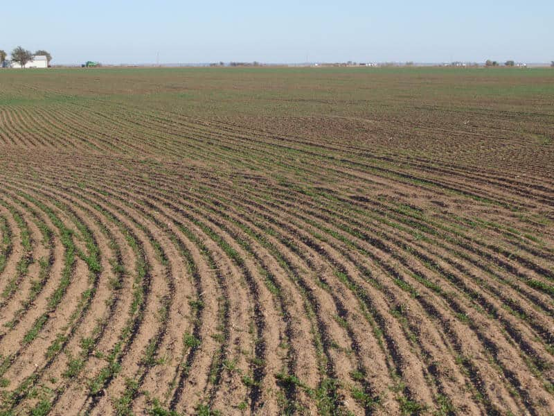 Rows of alfalfa in a field