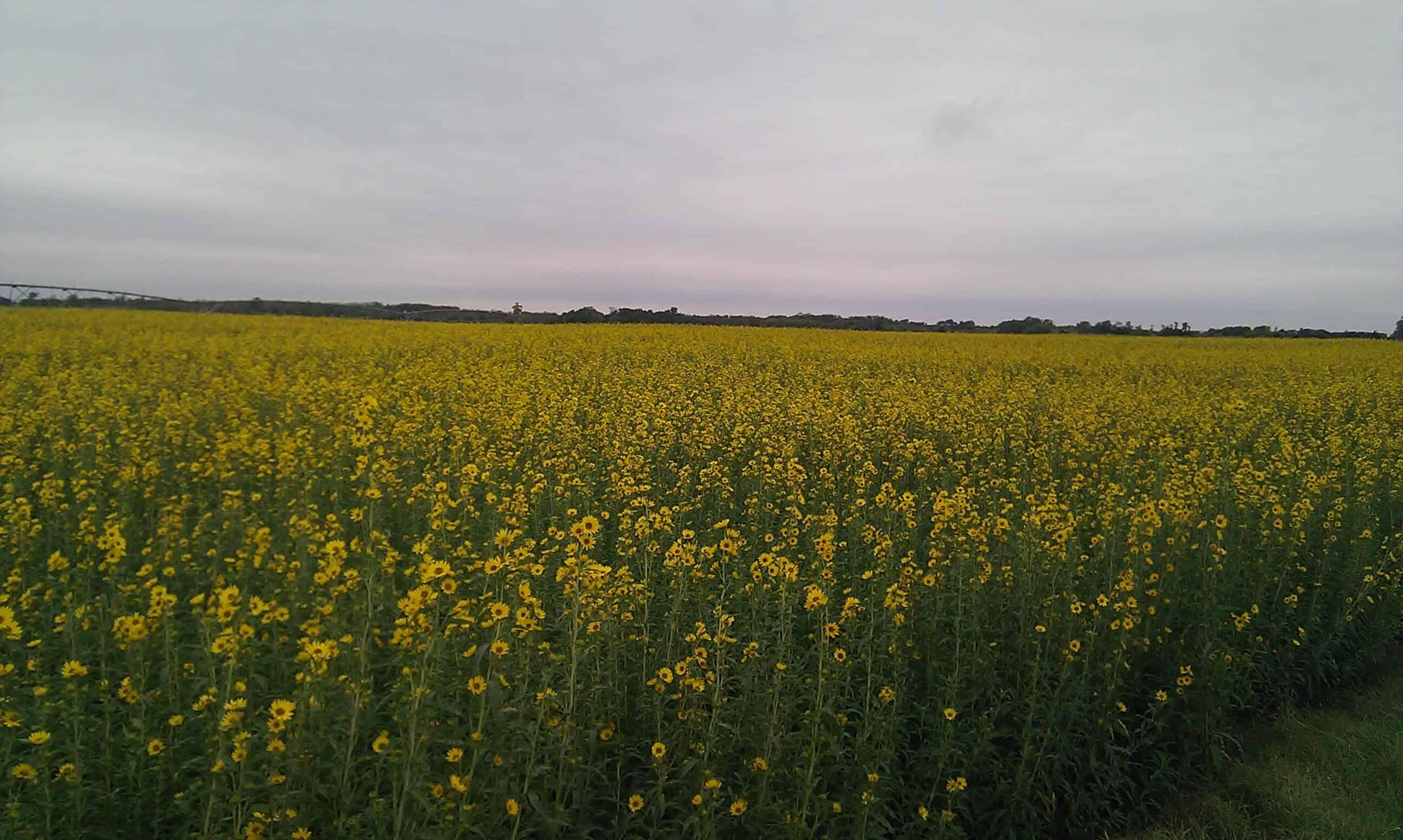 Field of Maximillian Sunflowers
