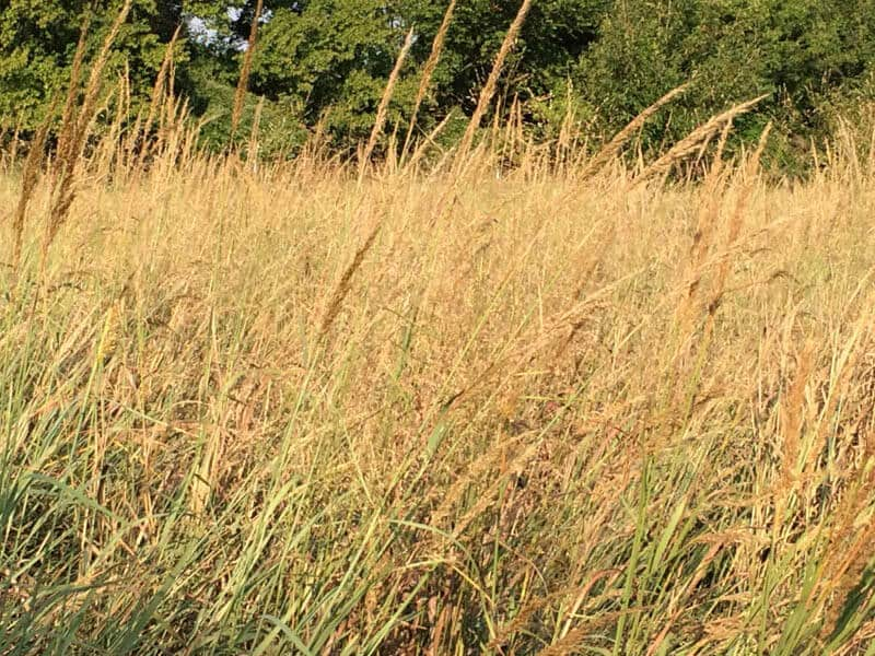 PRAIRIE GOLD NATIVE GRASS MIX