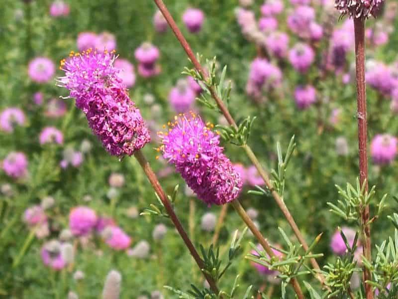 Field of Purple Prairie Clover flowers