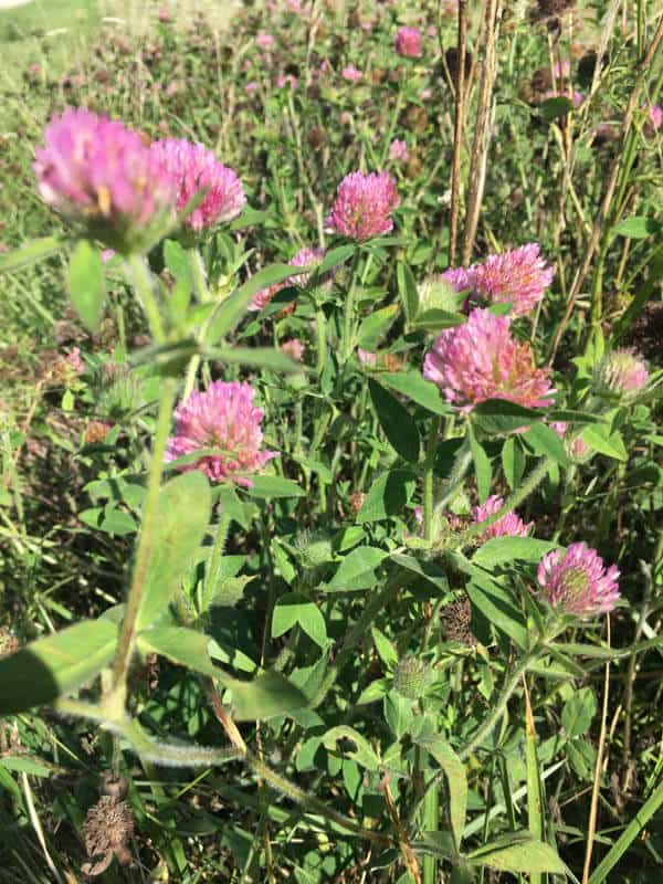 Red clover flowers in a field