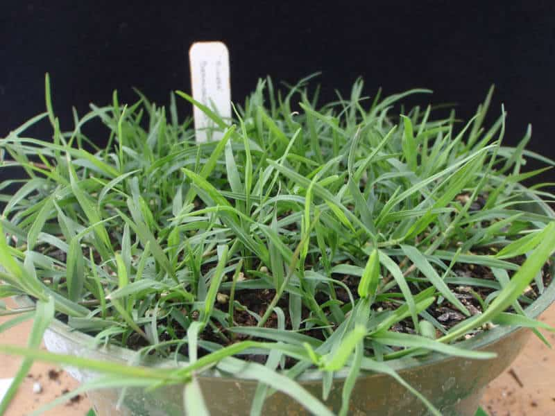 COMMON BERMUDAGRASS, HULLED COATED - Johnston Seed Company