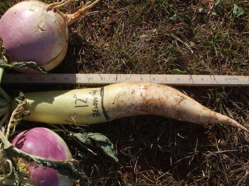 Meter stick measuring turnips