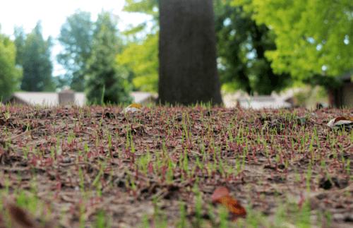 Grass sprouting through soil