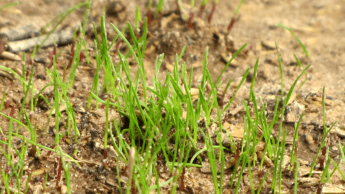 Grass sprouting out of soil