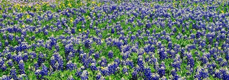 Field of blue wildflowers