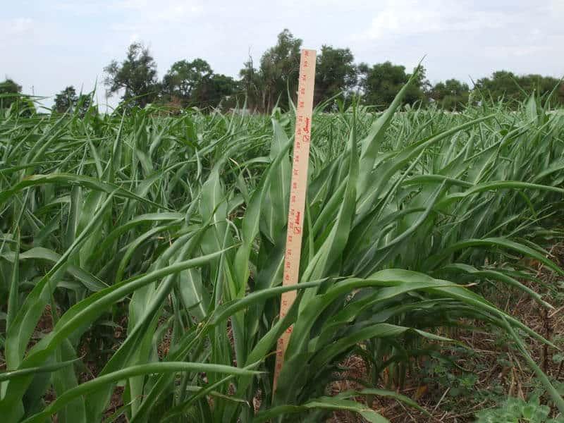 Meter stick measuring Sorghum Sudan crops