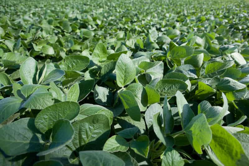 Field of soybeans