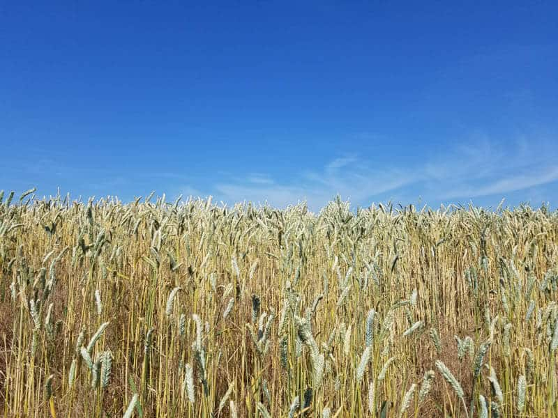 Field of wheat with a blue sky in the background