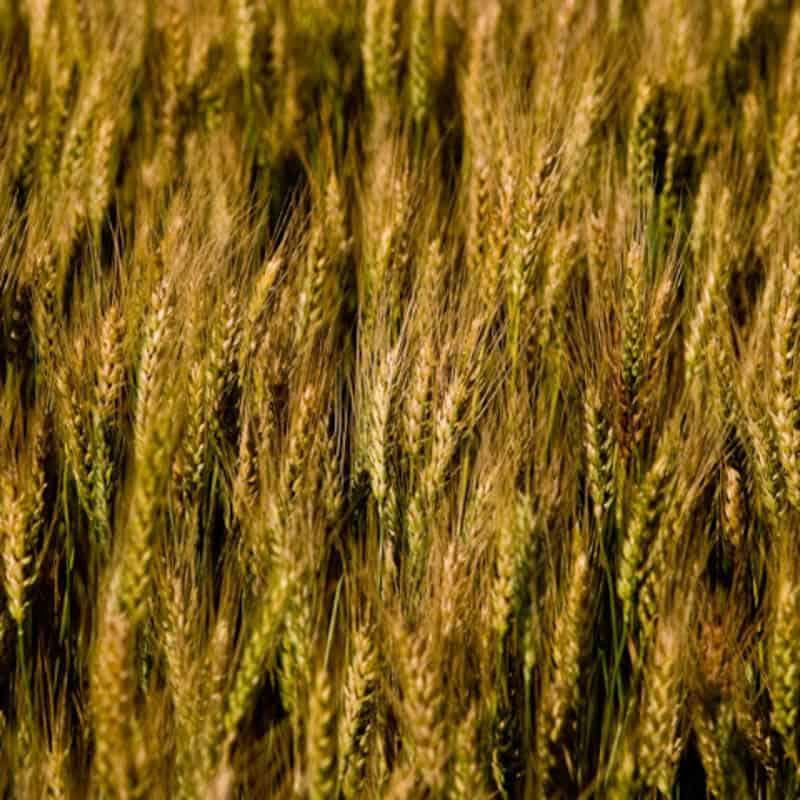 FORAGE MAXX SOFT RED WHEAT - Johnston Seed Company