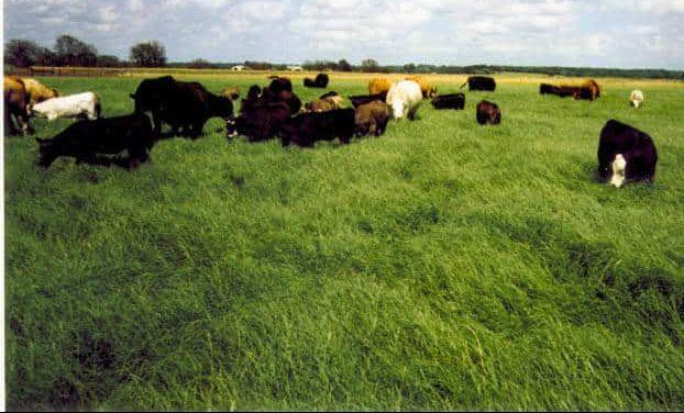 Cattle grazing wrangler bermudagrass