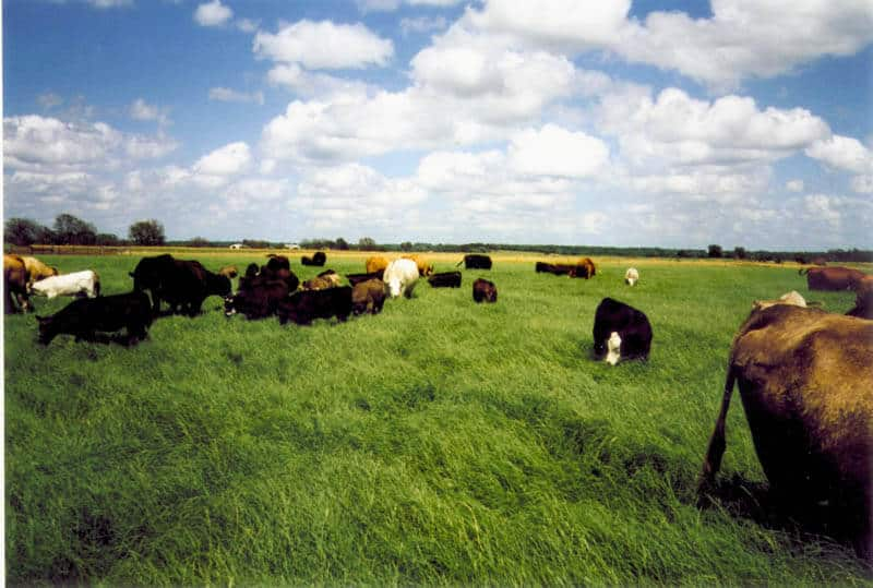 Cattle grazing wrangler bermudagrass