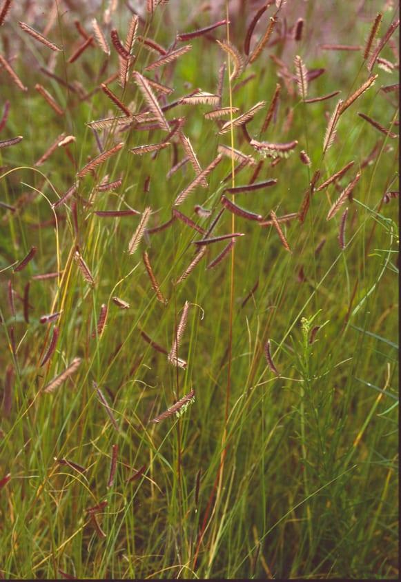 Blue grama grass in a field
