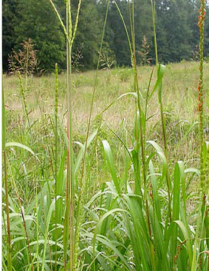 Eastern Gamagrass growing in a field