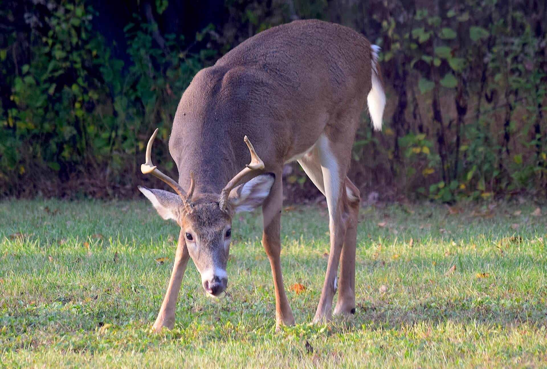 Deer grazing in a field of grass