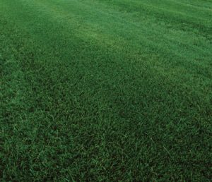 Bermudagrass vs  Tall Fescue: Differences Between These Turf