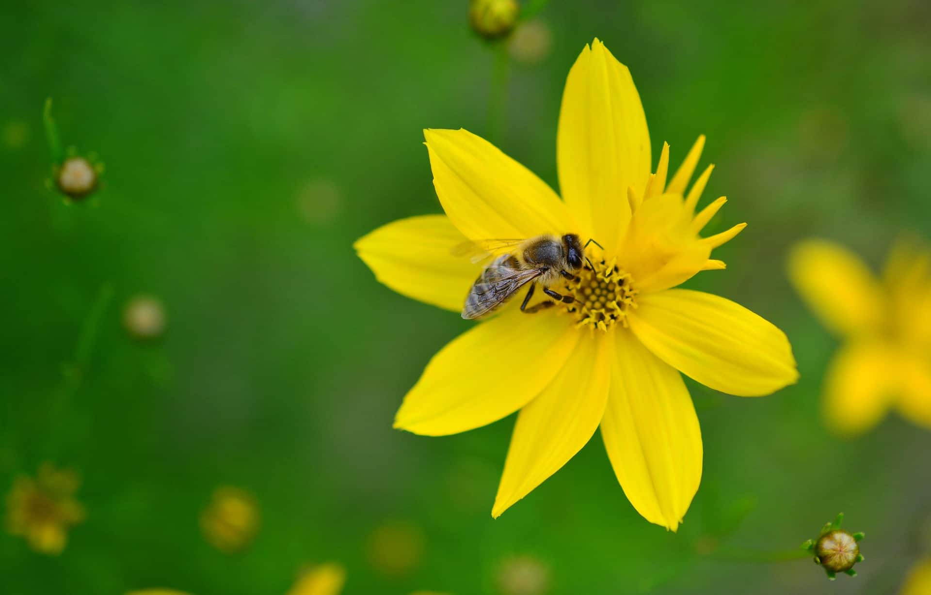 Bee pollinating yellow flower